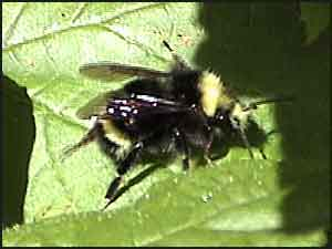 Yellow-faced Bumble Bee (Drone)