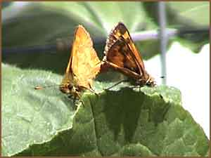 Woodland Skippers Mating