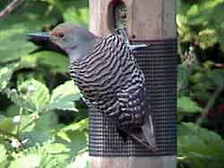 Northern Flicker Red-shafted Female (No Tail)