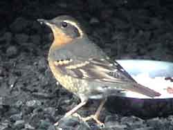 Varied Thrush (Female)