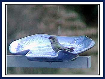 Anna's Hummingbird Bath