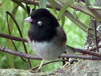 Dark-eyed Junco (Tick)