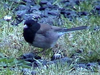Dark-eyed Junco - Oregon